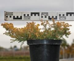 Можжевельник обыкновенный Депресса Ауреа диаметр растения 30см
