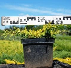 Можжевельник Плюмоза Аурея/Ауреа контейнерная площадка