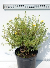 Лапчатка кустарниковая Танжерин диаметр растения 45см