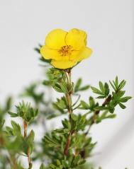 Лапчатка кустарниковая Танжерин (цветок)