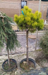 Pinus Ophir на штамбе в садовом центре