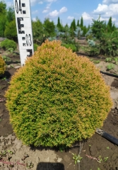 Thuja occidentalis Anniek ® высота 30-35см