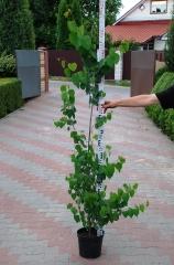 Cercidiphyllum japonicum / Багрянник японский 1,6-1,8м