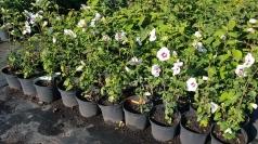 Гибискус сирийский Ред Харт цветы
