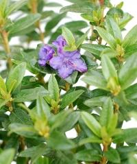 Рододендрон Блю Тит Мажор (цветок)