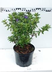 Рододендрон Блю Тит Мажор диаметр растения 40см