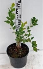 Голубика высокорослая Блюкроп высота растения 40см