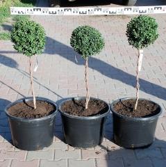 Самшит вічнозелений купить Киев