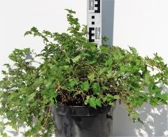 Стефанандра надрезаннолистная Криспа высота растения 25см