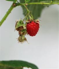 Малина ремонтантная Полка (плоды)