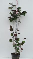 Фундук обыкновенный Род Зеллернут высота 120см