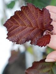 Фундук обыкновенный Род Зеллернут окраска листа