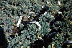 Можжевельник Флореант / Floreant в садовом центре