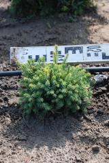 Picea sitchensis Midget в питомнике