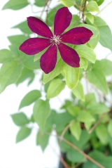 Клематис Вестерплатте (цветок)