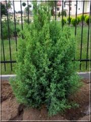 Можжевельник китайский Обелиск <br>Ялівець китайський Обеліск <br>Juniperus chinensis Obelisk