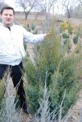 Juniperus chinensis Obelisk