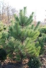 Сосна крымская Pinus pallasiana