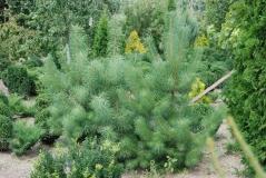 Сосна кримська / Pinus pallasiana