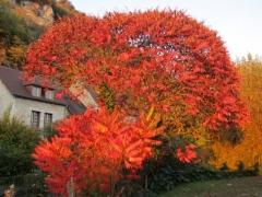 Rhus typhina Сумах пушистый оленерогий  Уксусное дерево