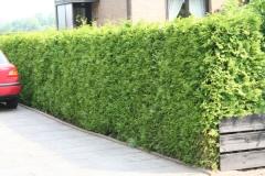Thuja occidentalis недорогое вечнозелёное растение для живых изгородей.