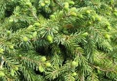Подушковидная карликовая ель Эхиниформис