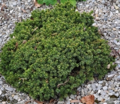 Picea Echiniformis купить в Киеве
