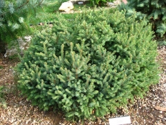 Ель обыкновенная Эхиниформис Picea abies Echiniformis