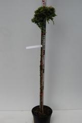 Можжевельник горизонтальный Golden Carpet плаучий на штамбе 0,95-1,05м