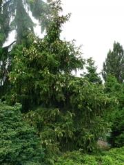 Ель обыкновенная / европейская Акрокона <br>Ялина звичайна / європейська Акрокона <br>Picea abies Acrocona