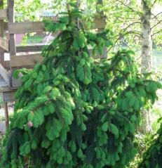 Ель обыкновенная Акрокона Picea abies Acrocona купить