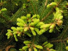 Picea abies Barryi (Ель Бери)