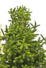 Ель обыкновенная Купрессина Picea abies Cupressina