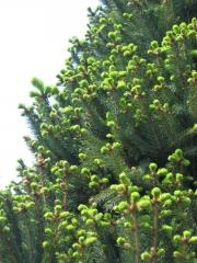 Ель обыкновенная (Picea abies) Cupressina