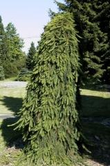 Ель обыкновенная Инверса Picea abies Inversa (Ель плакучая)