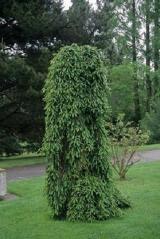 Picea abies Inversa фото