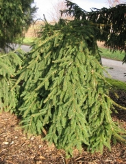 Picea abies Inversa (Ель плакучая)