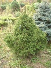 Picea abies Ohlendorffii