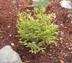 Picea abies Ohlendorffii весной