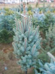 Picea pungens Iseli Fastigiate (Исели Фастигиате, Айзели Фастигиате)