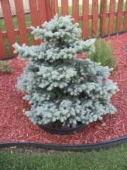 Picea pungens Montgomery