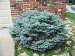 Ель колючая Монтгомери Picea pungens Montgomery