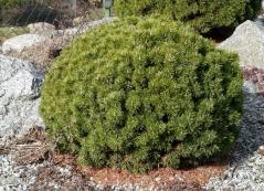 Сосна горная Мини Мопс <br>Pinus mugo Mini Mops