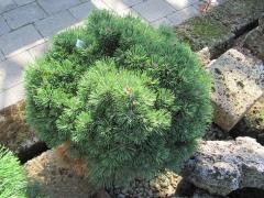 Сосна горная Мини Мопс Pinus mugo Mini Mops