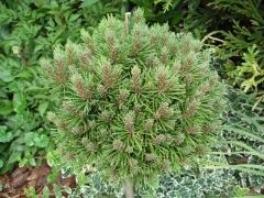 Pinus mugo Mini Mops