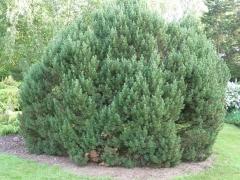 Сосна горная Мопс <br>Сосна гірська Мопс <br>Pinus mugo Mops