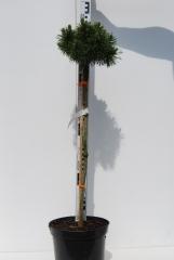 Сосна горная Мопс на штамбе 0,65-0,85м
