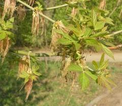 Клён ясенелистный Acer negundo фото