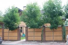 Клён остролистный / Acer platanoides