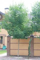 Acer platanoides / Клён остролистный